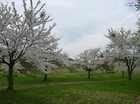八幡平市さくら公園の桜22(2012.5.9)