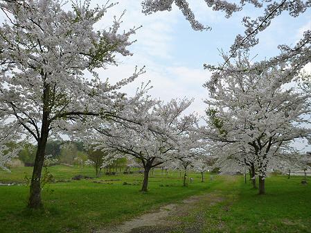 八幡平市さくら公園の桜23(2012.5.9)