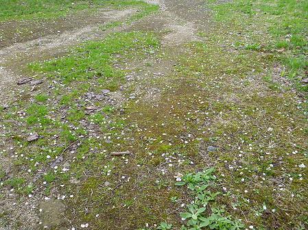 八幡平市さくら公園の桜24(2012.5.9)