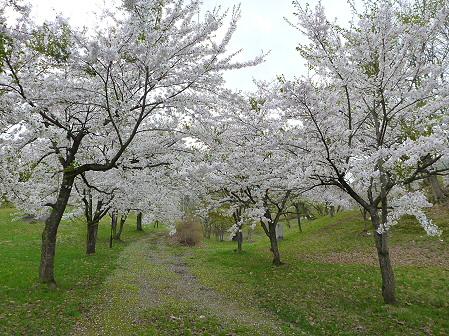 八幡平市さくら公園の桜25(2012.5.9)