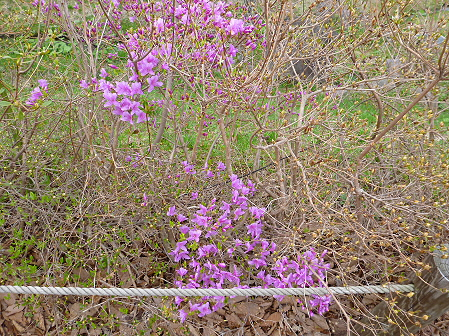八幡平市さくら公園の桜26(2012.5.9)