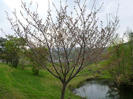 八幡平市さくら公園の桜28(2012.5.9)