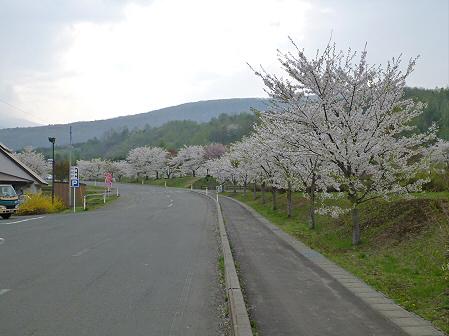八幡平市さくら公園の桜30(2012.5.9)