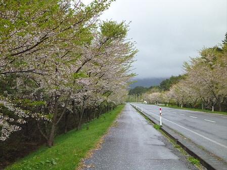 上坊牧野入口付近の桜並木03(2012.5.11)