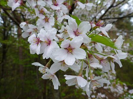上坊牧野入口付近の桜並木05(2012.5.11)