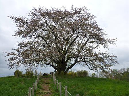 為内の一本桜02(2012.5.11)