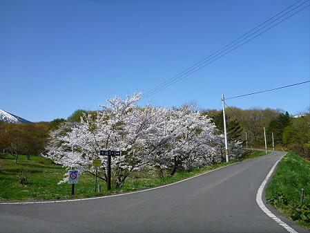 岩手県県民の森の桜02(2012.5.13)