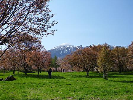 岩手県県民の森の桜06(2012.5.13)