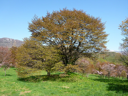 岩手県県民の森の桜11(2012.5.13)