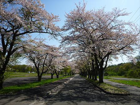 八幡平トラウトガーデンの桜並木02(2012.5.13)