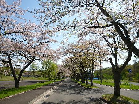 八幡平トラウトガーデンの桜並木03(2012.5.13)