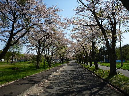 八幡平トラウトガーデンの桜並木04(2012.5.13)
