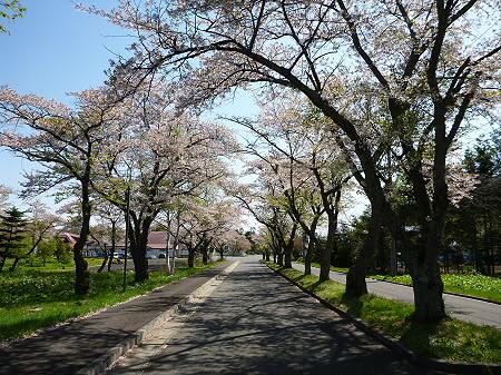 八幡平トラウトガーデンの桜並木05(2012.5.13)