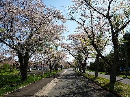 八幡平トラウトガーデンの桜並木06(2012.5.13)