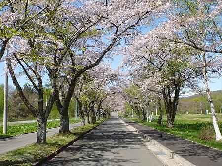 八幡平トラウトガーデンの桜並木07(2012.5.13)