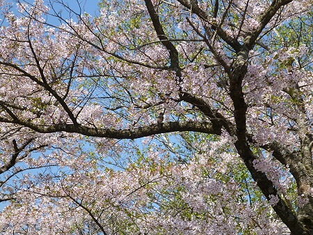 八幡平トラウトガーデンの桜並木08(2012.5.13)