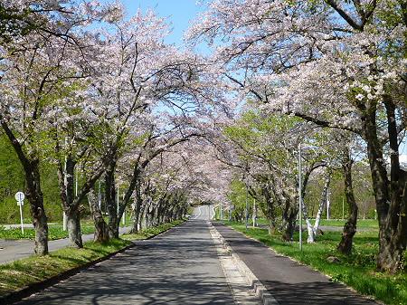 八幡平トラウトガーデンの桜並木09(2012.5.13)