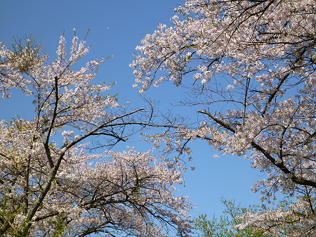 八幡平トラウトガーデンの桜並木10(2012.5.13)