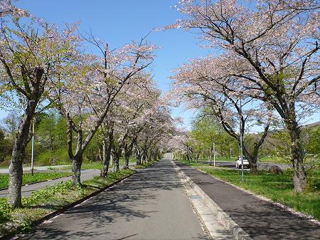 八幡平トラウトガーデンの桜並木11(2012.5.13)
