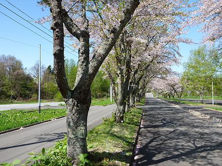 八幡平トラウトガーデンの桜並木12(2012.5.13)