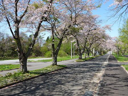 八幡平トラウトガーデンの桜並木13(2012.5.13)