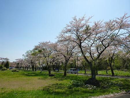 八幡平トラウトガーデンの桜並木14(2012.5.13)