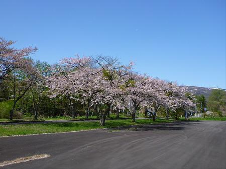 八幡平トラウトガーデンの桜並木15(2012.5.13)