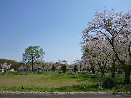 八幡平トラウトガーデンの桜並木16(2012.5.13)