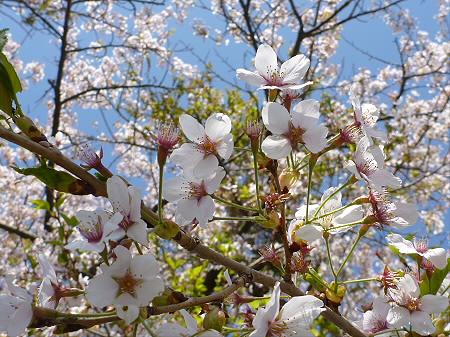 八幡平トラウトガーデンの桜並木19(2012.5.13)