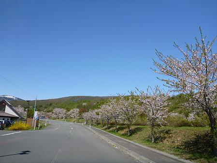 八幡平市さくら公園02(2012.5.13)