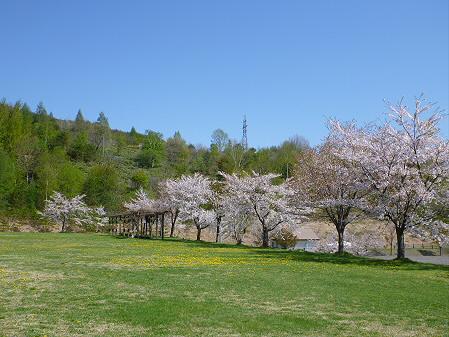 八幡平市さくら公園04(2012.5.13)