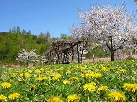 八幡平市さくら公園05(2012.5.13)