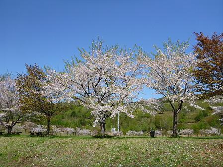八幡平市さくら公園06(2012.5.13)