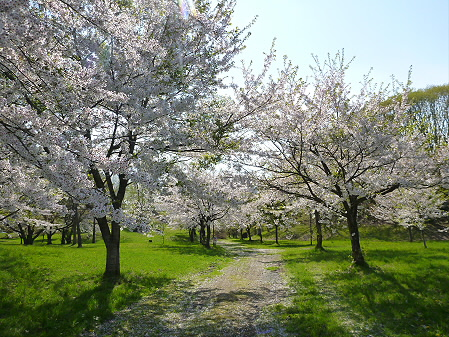 八幡平市さくら公園午後02(2012.5.13)
