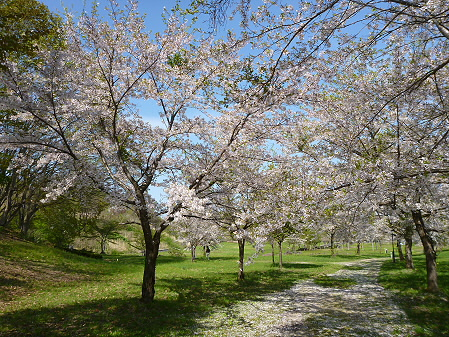 八幡平市さくら公園午後06(2012.5.13)