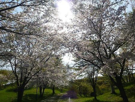 八幡平市さくら公園午後07(2012.5.13)