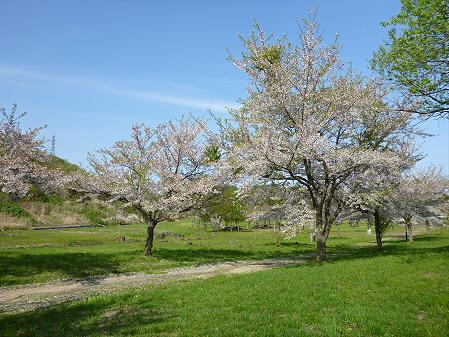 八幡平市さくら公園午後09(2012.5.13)