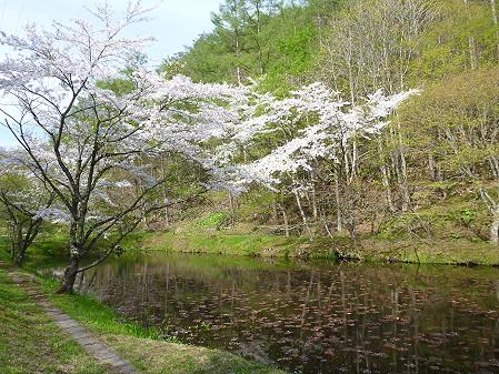七時雨鉱泉付近の桜01(2012.5.13)