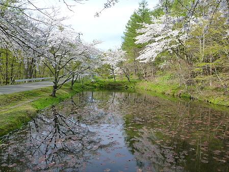 七時雨鉱泉付近の桜02(2012.5.13)