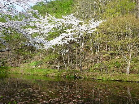 七時雨鉱泉付近の桜03(2012.5.13)