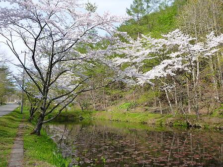 七時雨鉱泉付近の桜04(2012.5.13)