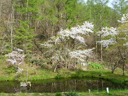 七時雨鉱泉付近の桜05(2012.5.13)