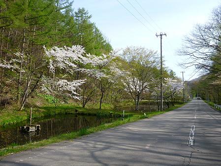 七時雨鉱泉付近の桜06(2012.5.13)