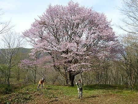 七時雨山の一本桜09(2012.5.13)