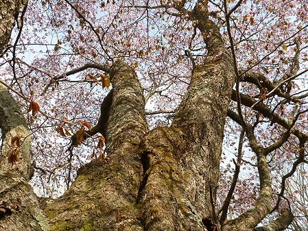 七時雨山の一本桜10(2012.5.13)
