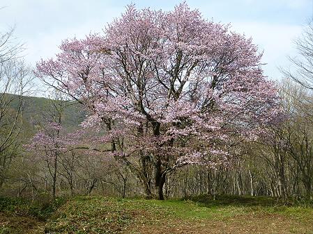 七時雨山の一本桜17(2012.5.13)