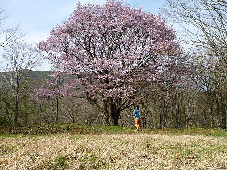 七時雨山の一本桜22(2012.5.13)誰かさん