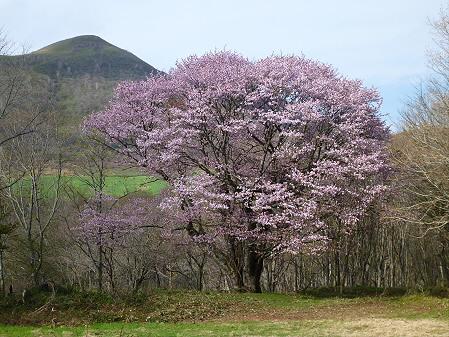 七時雨山の一本桜23(2012.5.13)