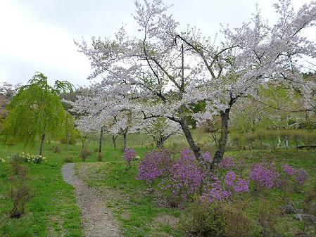 桜松公園の桜06(2012.5.13)