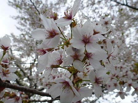 桜松公園の桜08(2012.5.13)